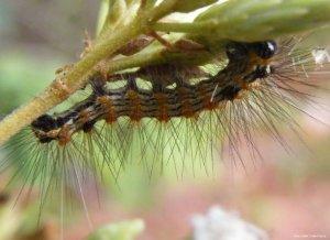 Saúde alerta para a presença de lagartas